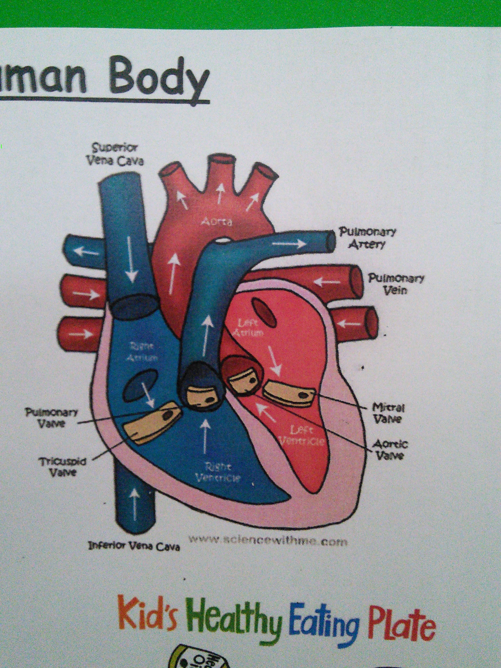 Science The Human Heart